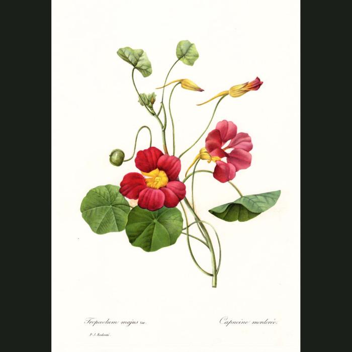 Fine art print for sale. Nasturtium Flower