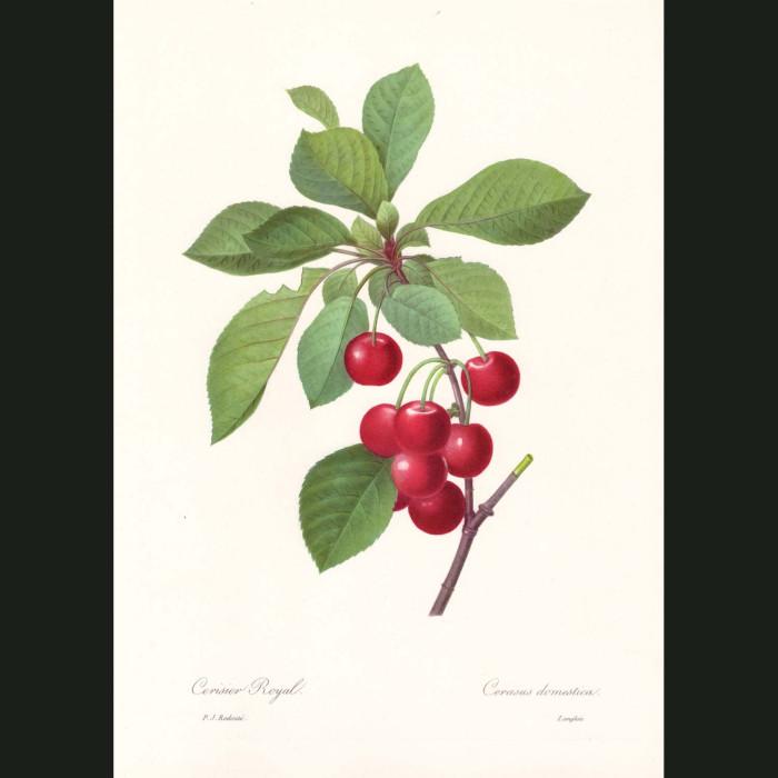 Fine art print for sale. Sour Cherry