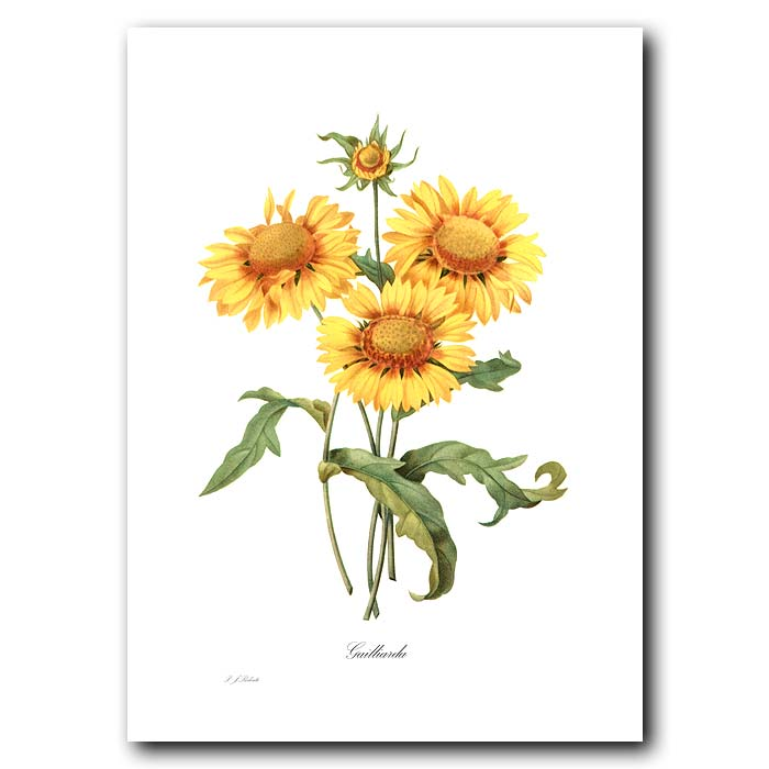 Fine art print for sale. Gailliarda Or Blanket Flower