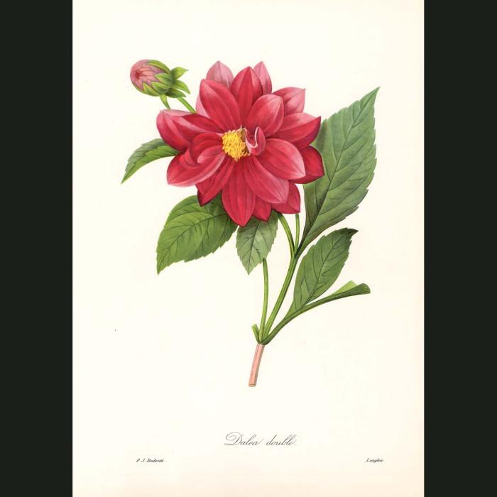 Fine art print for sale. Dahlia Double