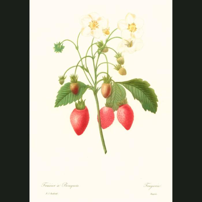 Fine art print for sale. Strawberry