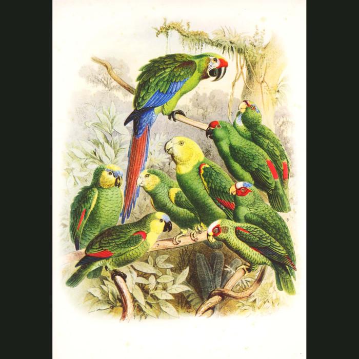 Fine art print for sale. Macaws And Amazon Parrots