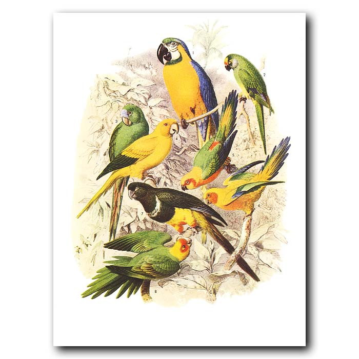 Fine art print for sale. Macaws, Conures And Parakeets