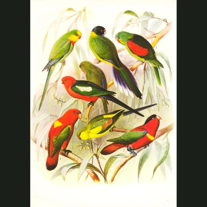 Fine art print for sale. Lories, Parakeets And Parrots