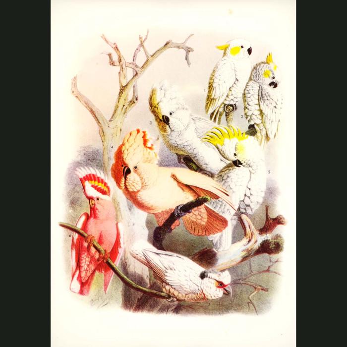 Fine art print for sale. Cockatoos From Australia, Indonesia,Papua New Guinea