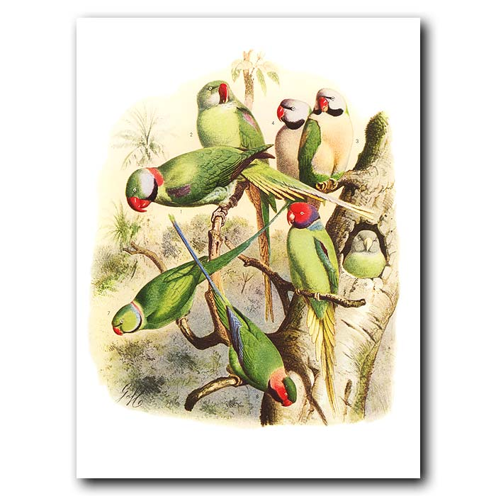 Fine art print for sale. Parakeets From Asia