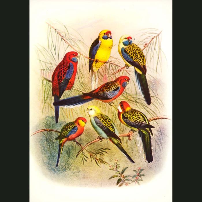Fine art print for sale. Parakeets From Australia, New Zealand Etc