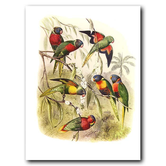 Fine art print for sale. Lorikeets From Australia, Png, Indonesia