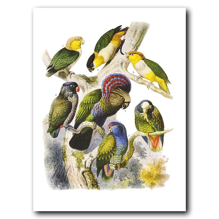 Fine art print for sale. Caiques And Parrots From South America