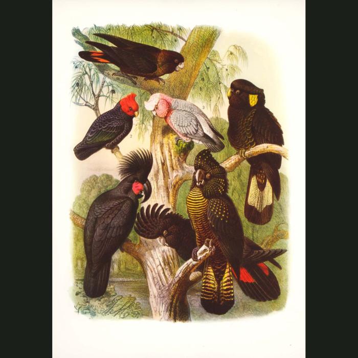 Fine art print for sale. Cockatoos From Australia And Tasmania