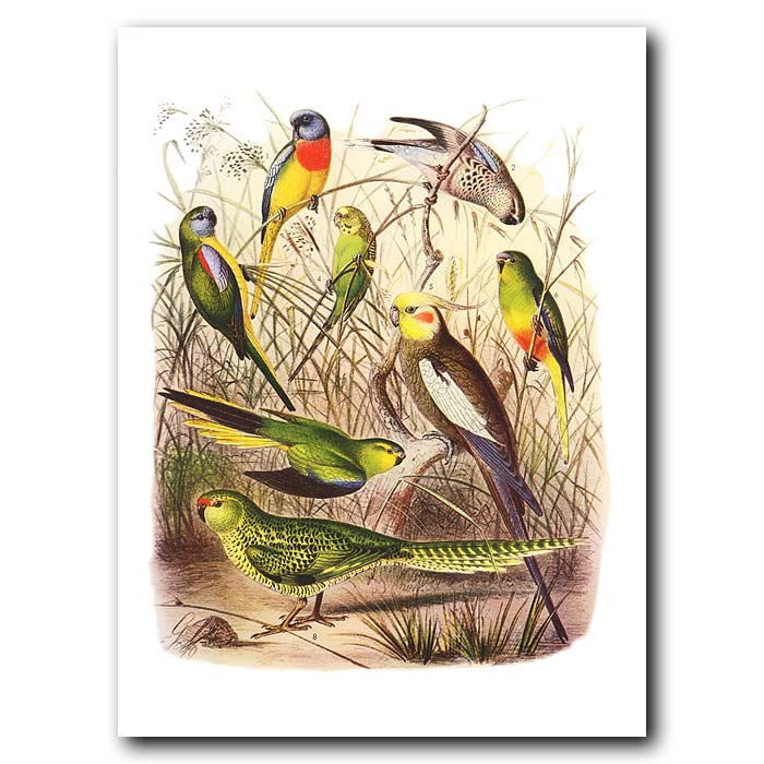 Fine art print for sale. Parakeets From Australia