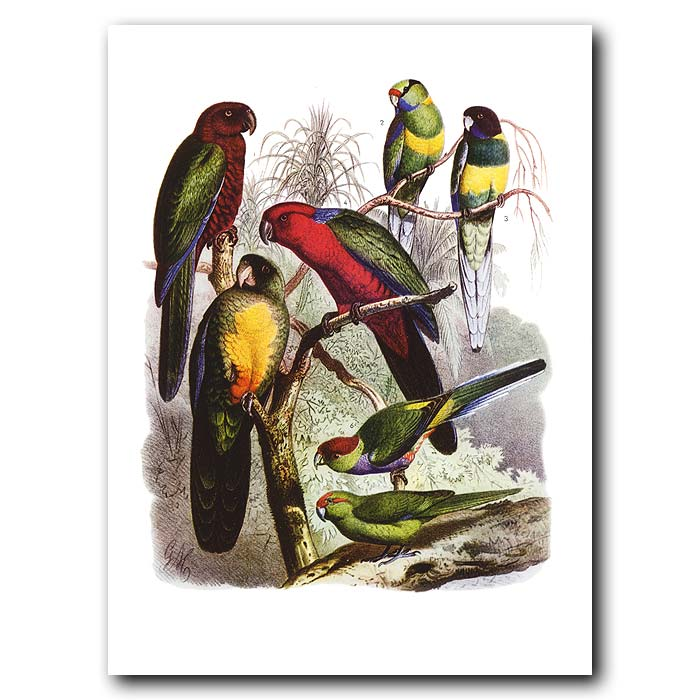 Fine art print for sale. Parrots From Oceania