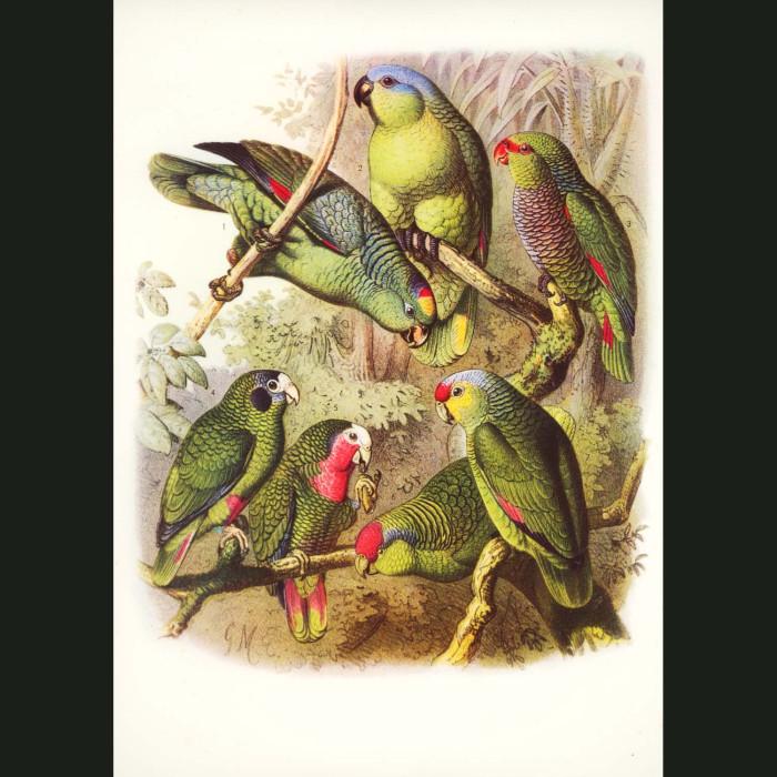Fine art print for sale. Amazon Parrots