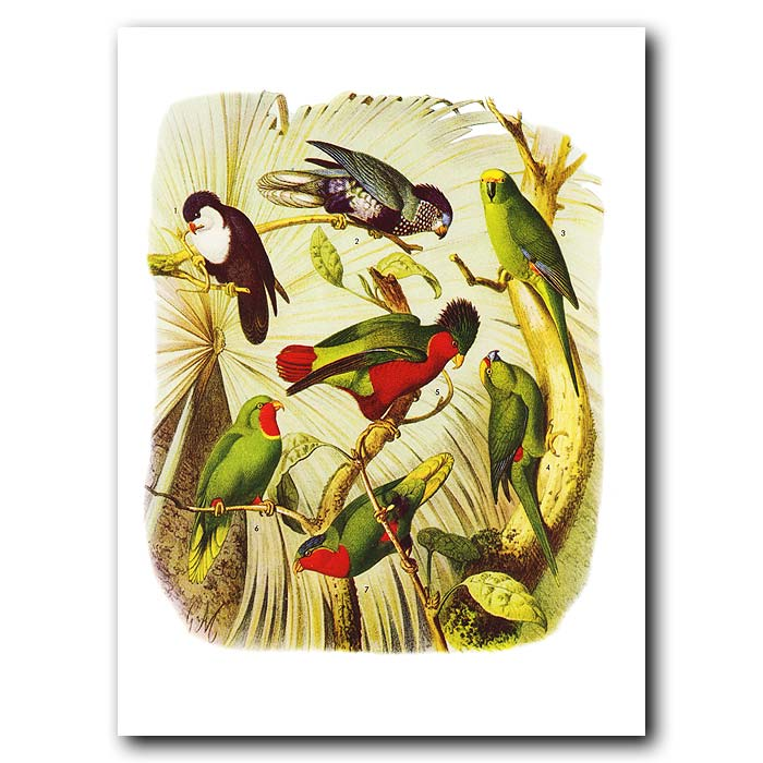 Fine art print for sale. Lories And Parakeets From Polynesia