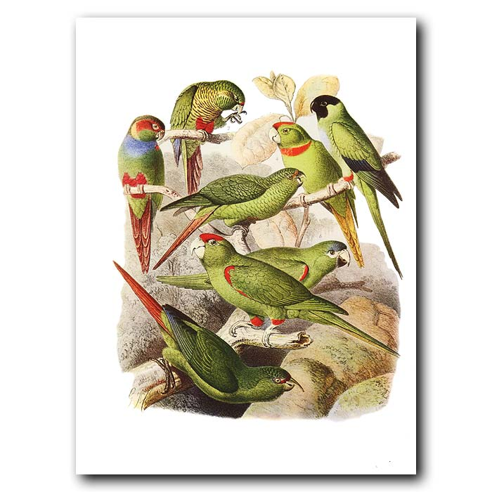 Fine art print for sale. Conures Of South America