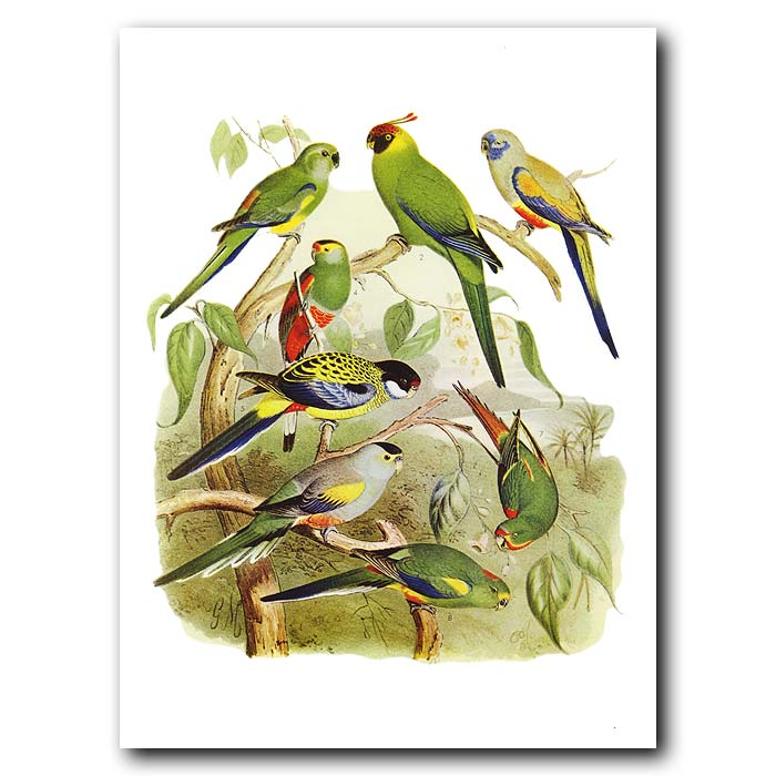 Fine art print for sale. Parrots Of Northern Australia And Png