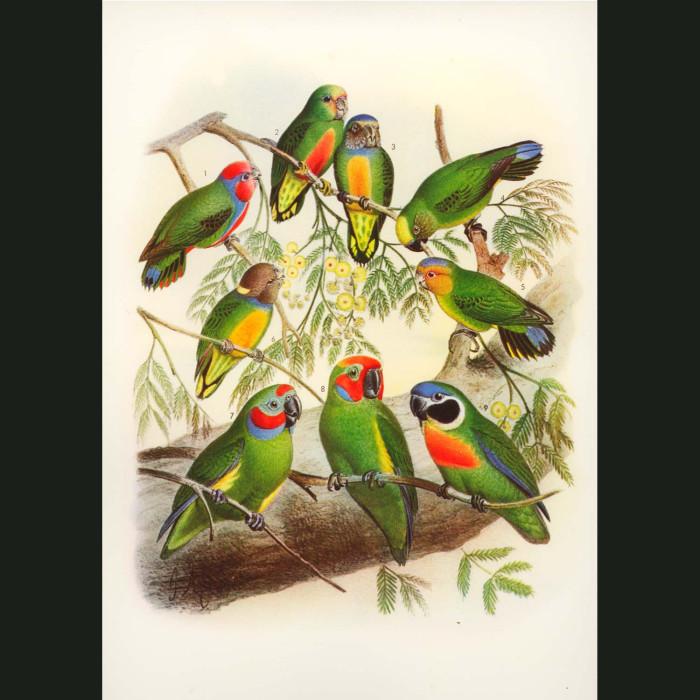 Fine art print for sale. Parrots Of The Solomon Islands
