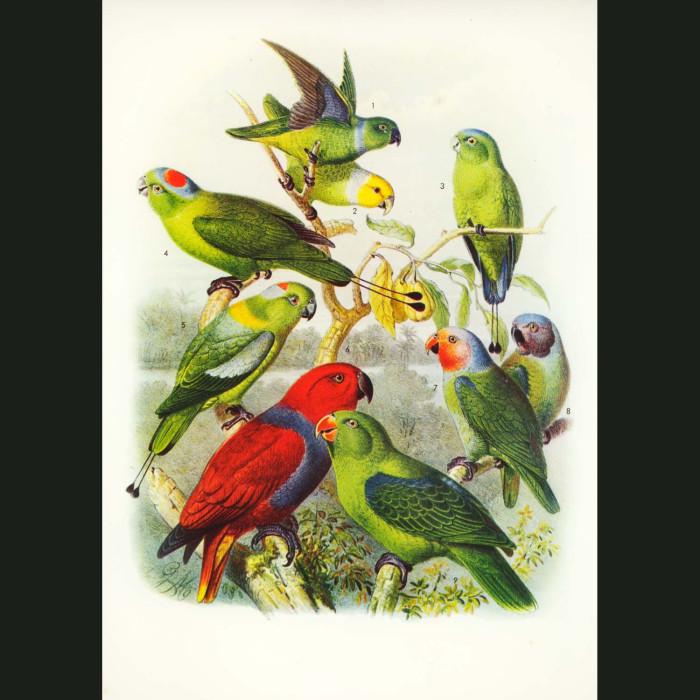Fine art print for sale. Eclectus Parrots & Others
