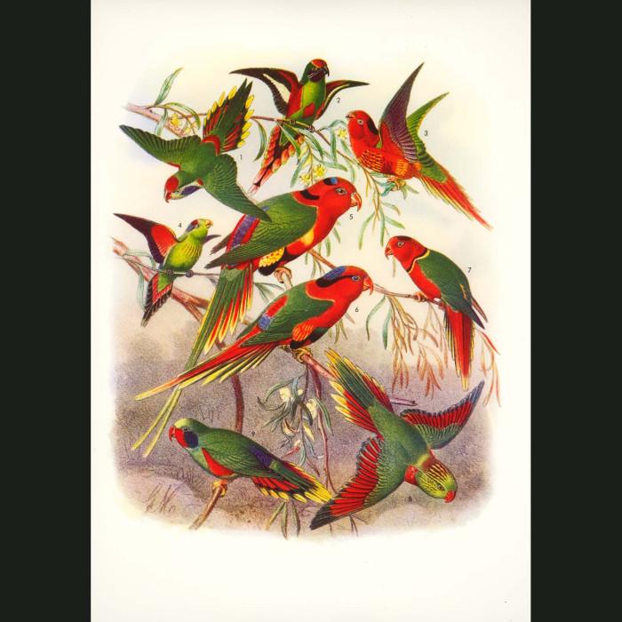 Fine art print for sale. Beautiful Lorikeets