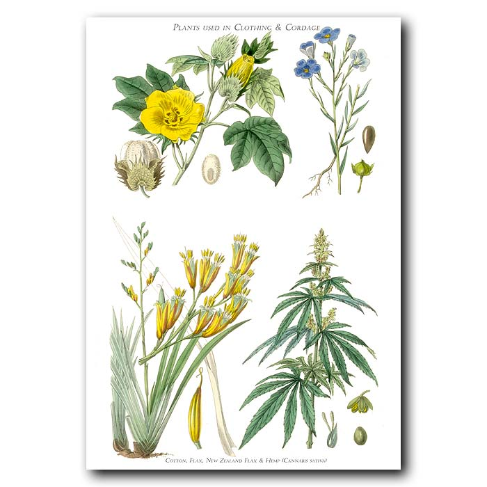 Fine art print for sale. Cotton, Flax & Hemp Or Cannabis