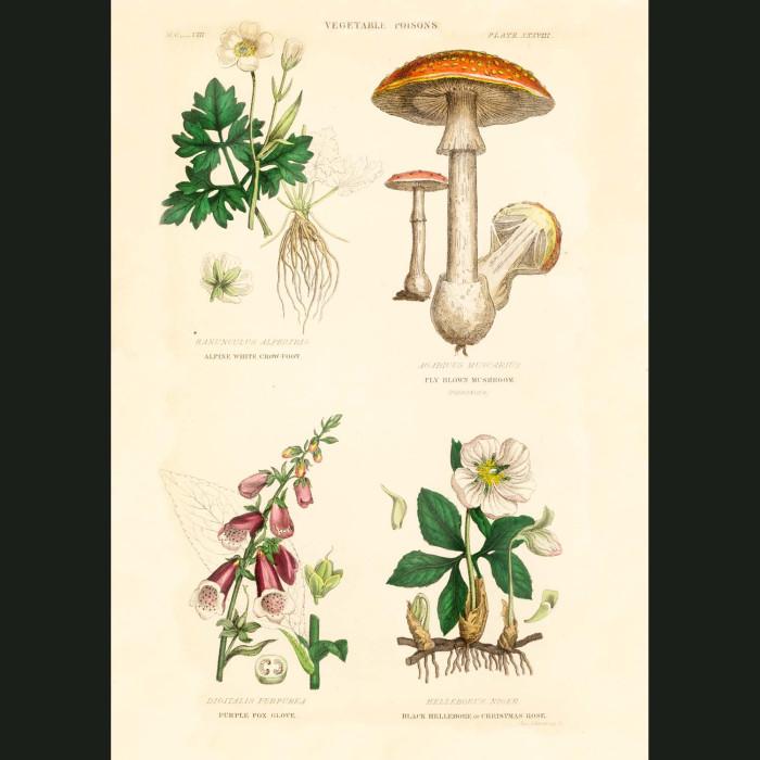 Fine art print for sale. Toadstool & Foxgloves