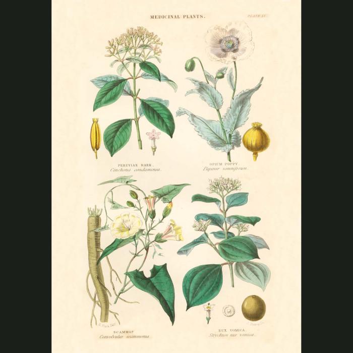 Fine art print for sale. Peruvian Bark, Opium Poppy & Strychnine