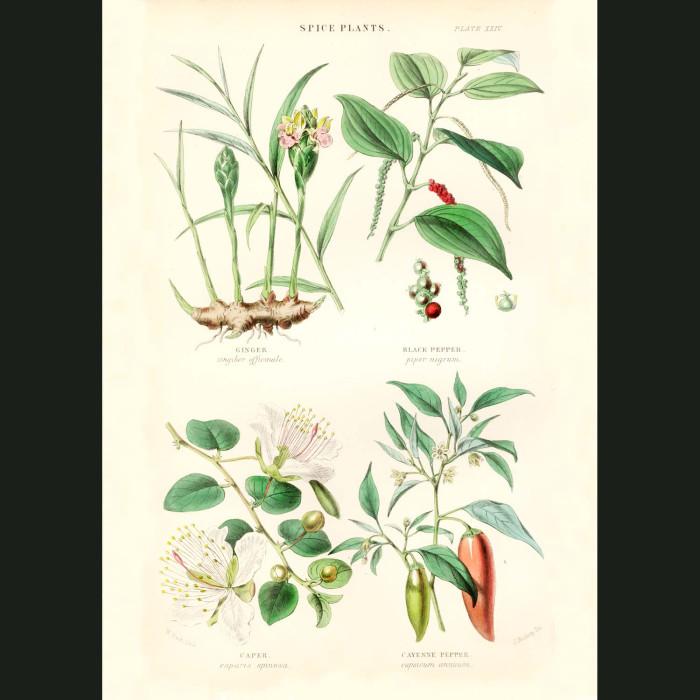 Fine art print for sale. Ginger, Black Pepper, Caper & Cayenne