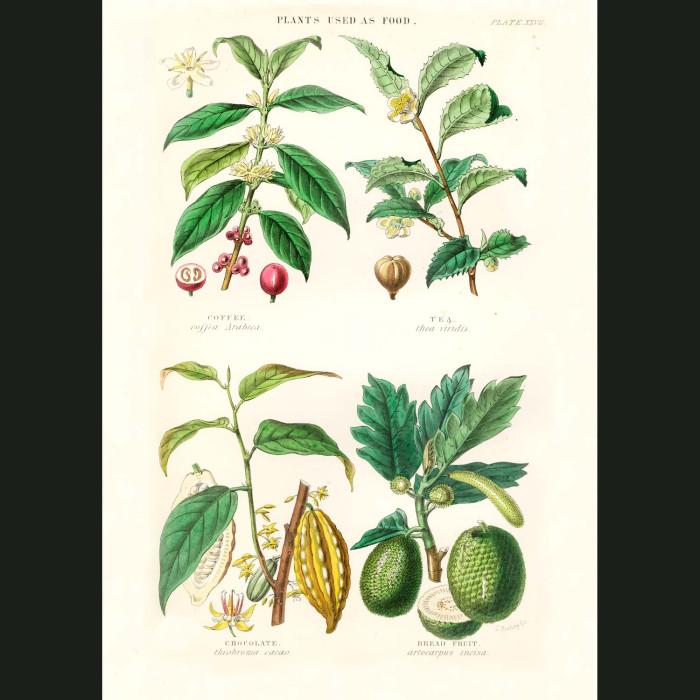 Fine art print for sale. Coffee, Tea, Chocolate & Breadfruit