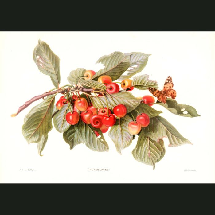Fine art print for sale. Cherries