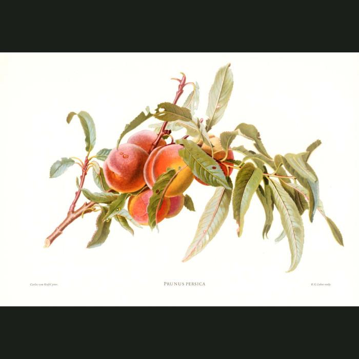Fine art print for sale. Peaches