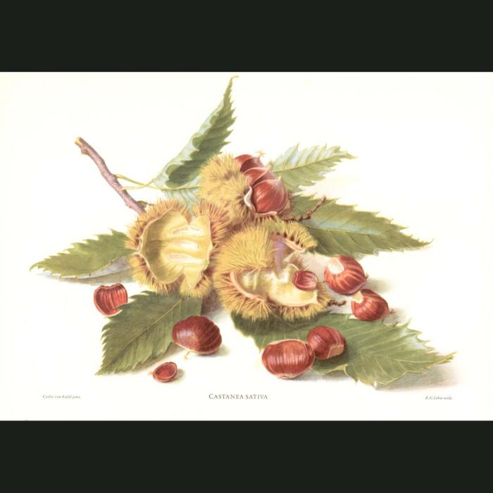 Fine art print for sale. Sweet Chestnuts