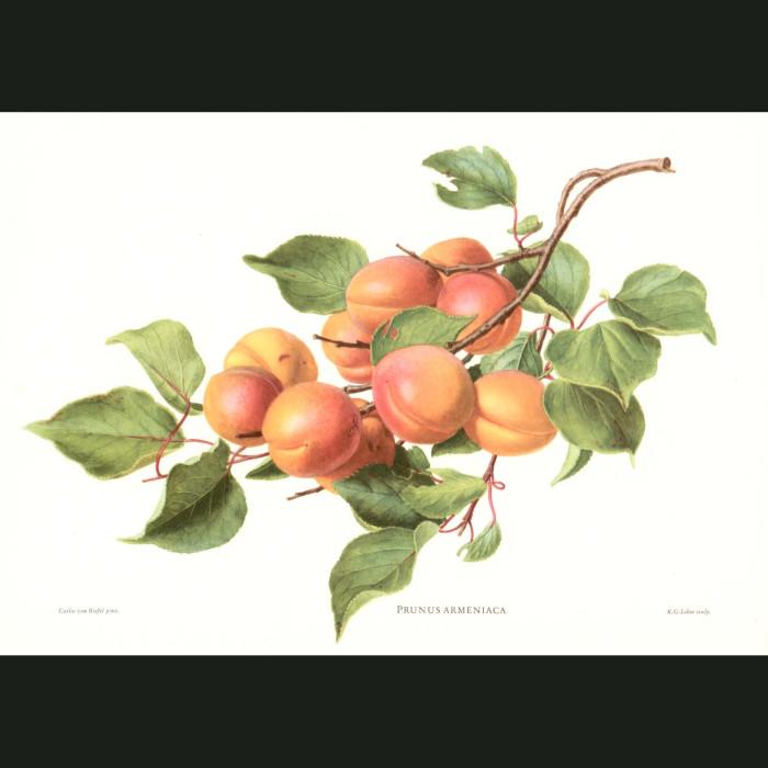 Fine art print for sale. Apricots