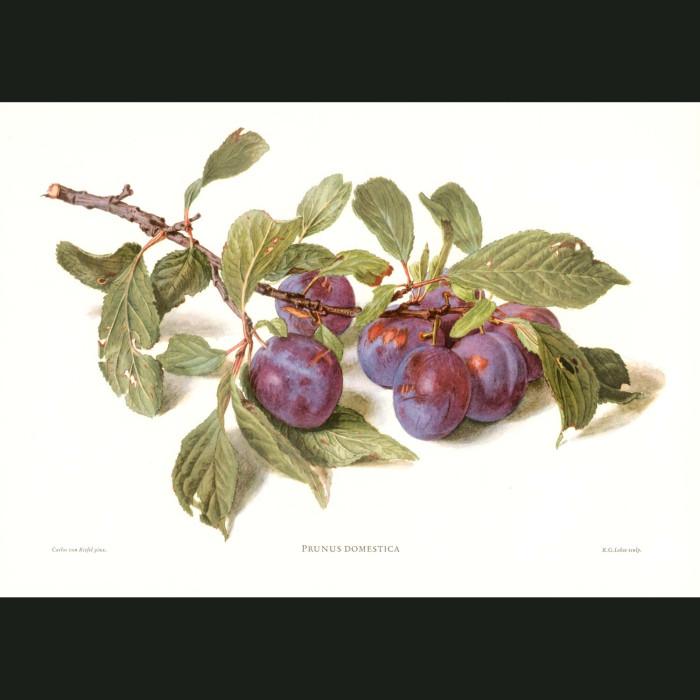 Fine art print for sale. Plums