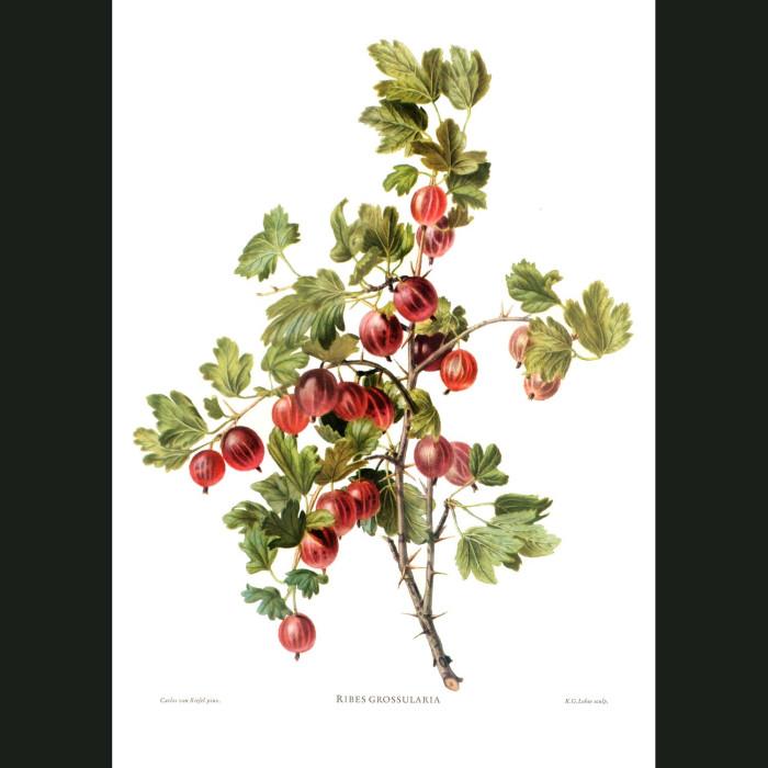 Fine art print for sale. Red Gooseberries