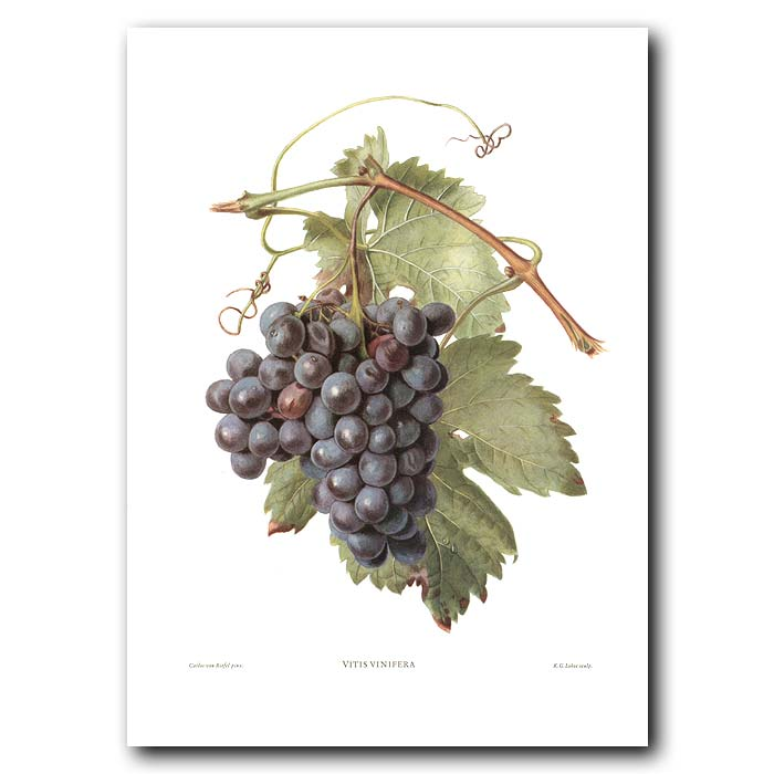 Fine art print for sale. Wine Grapes