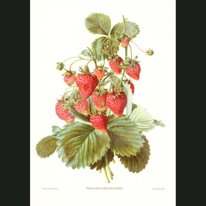 Fine art print for sale. Strawberries