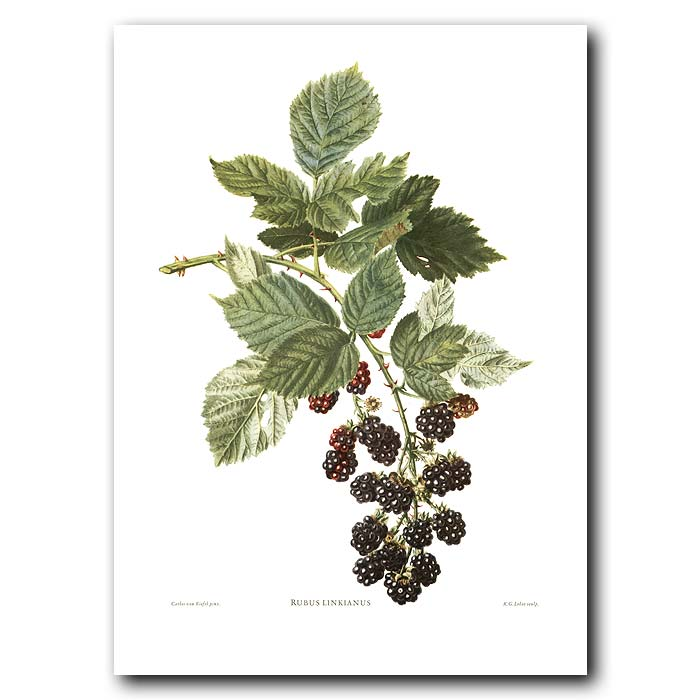 Fine art print for sale. Blackberries On Bramble