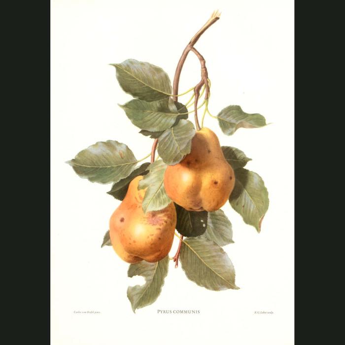 Fine art print for sale. Golden Pears