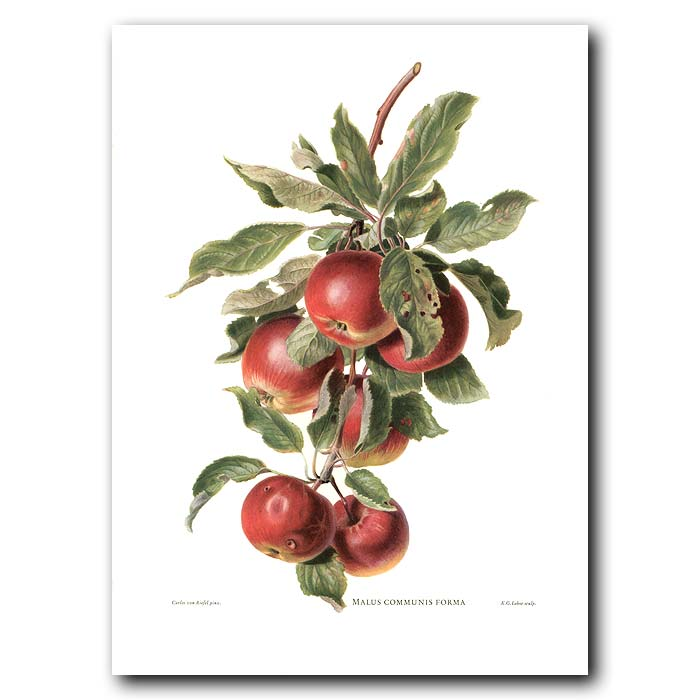 Fine art print for sale. Red Apples