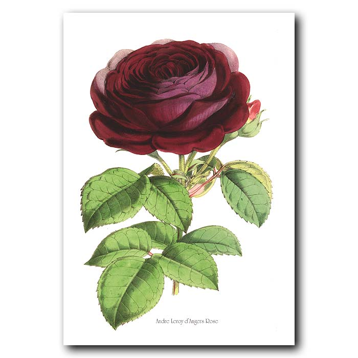 Fine art print for sale. Andre Leroy D'angers Rose