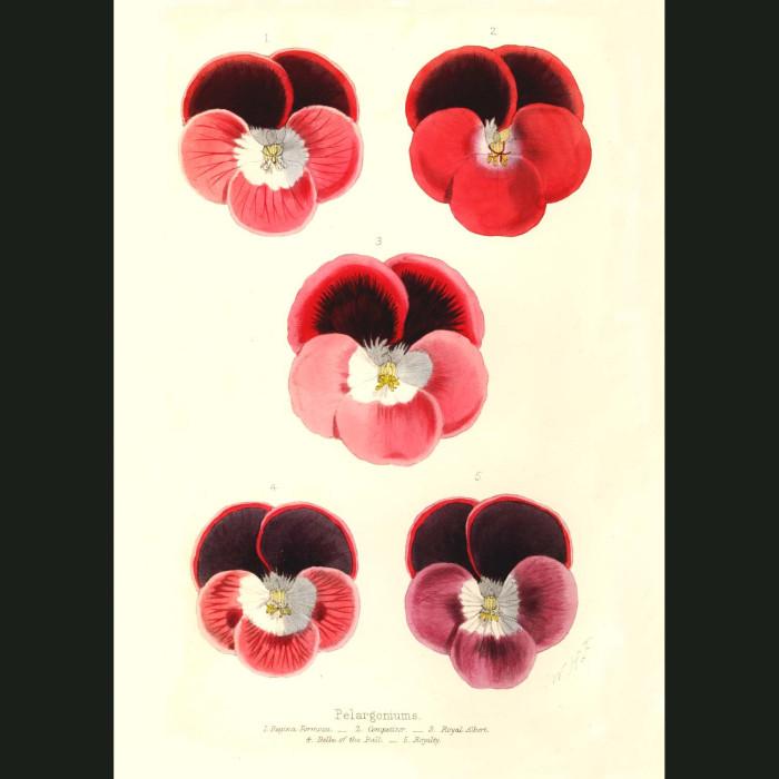 Fine art print for sale. Pelargoniums