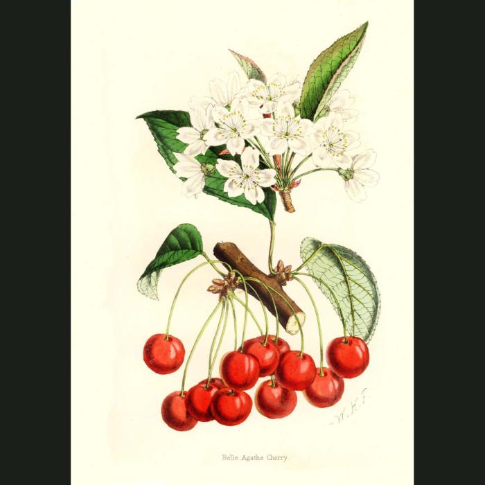 Fine art print for sale. Belle Agathe Cherry