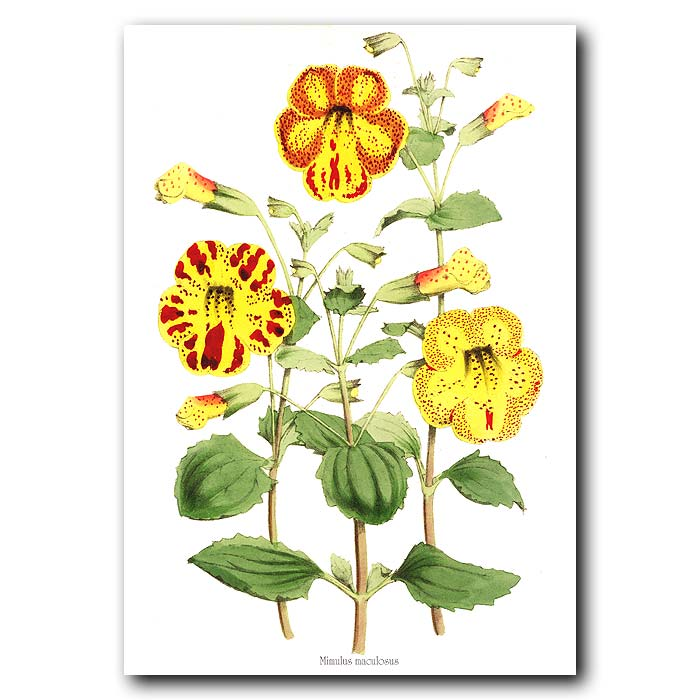 Fine art print for sale. Monkey Flower. Mimulus Maculosus