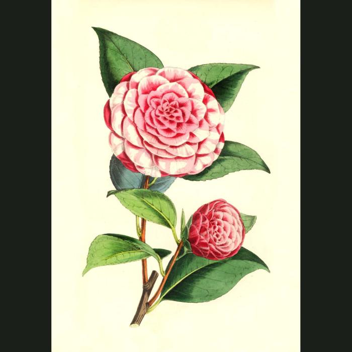 Fine art print for sale. Camellia Carlotta Papudoff