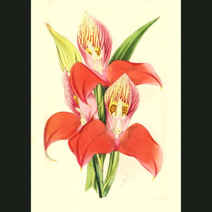Fine art print for sale. Disa Grandiflora Orchid