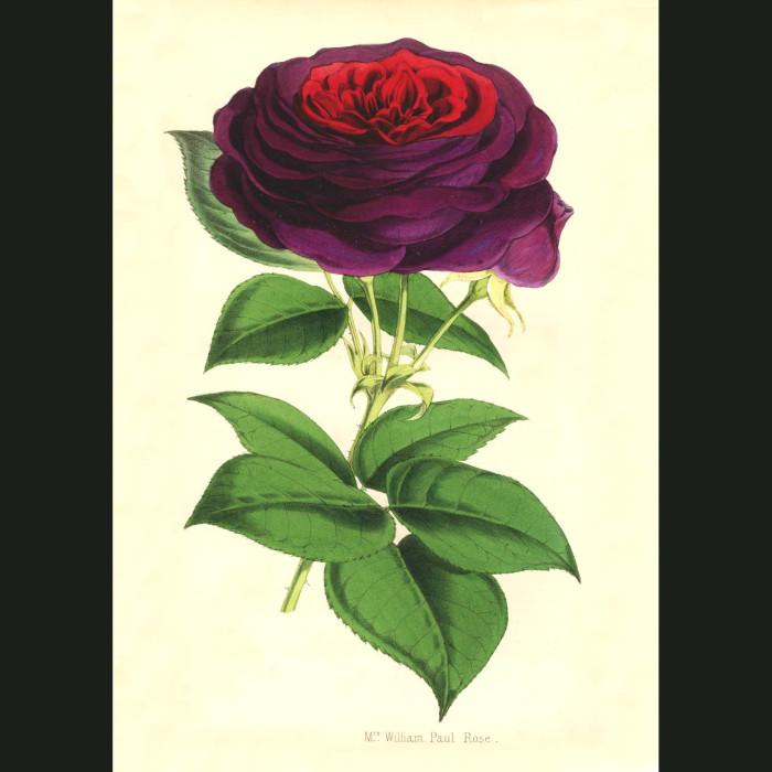 Fine art print for sale. Mrs William Paul Rose