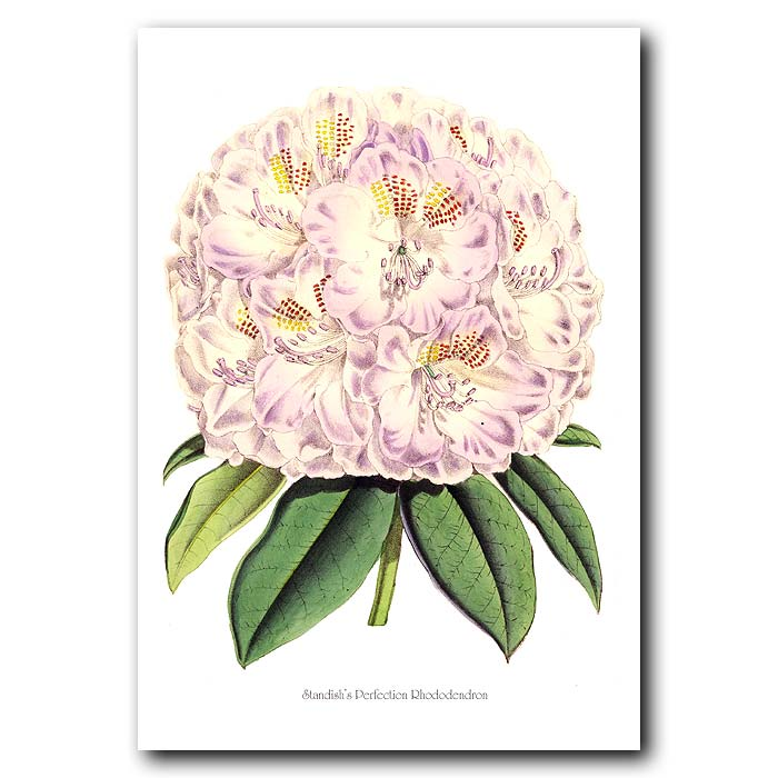 Fine art print for sale. Standish's Perfection Rhododendron