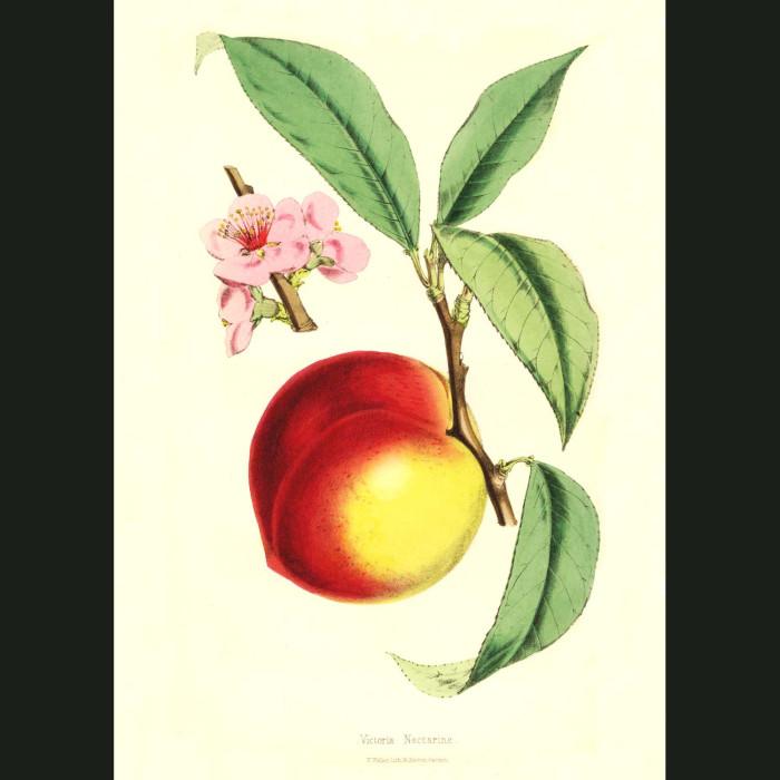 Fine art print for sale. Victoria Nectarine