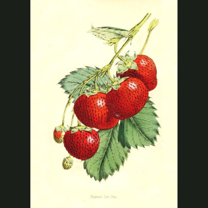 Fine art print for sale. Frogmore Late Pine Strawberry