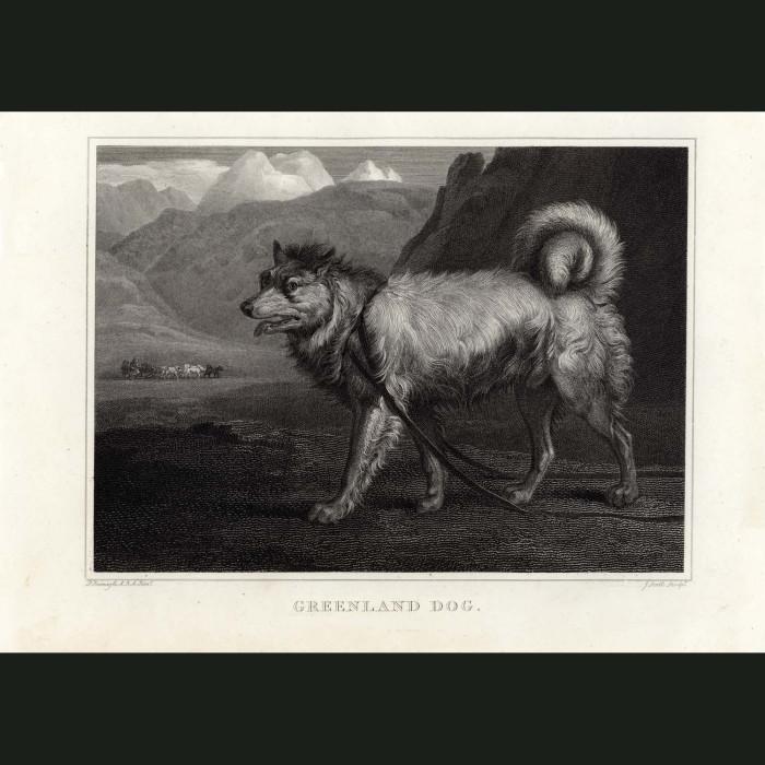 Fine art print for sale. Greenland Dog or Husky